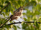 A Northern Mockingbird in a Tree at Sunrise