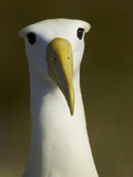 A Portrait of a Waved Albatross  Phoebastria Irrorata