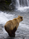 A Brown Bear Waits for Sockeye Salmon to Jump at Brooks Falls
