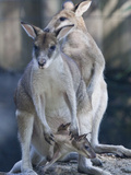 Portrait of Captive Agile Wallabys  Macropus Agilis