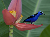 Red-Legged Honeycreeper  Cyanerpes Cyaneus  on a Banana Flower