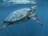 A Female Leatherback Turtle Surfaces for Breath in Warm Shallows