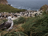 Black Browed Albatross  Thalassarche Melanophrys  and Rockhopper Penguins