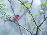 A Purple Finch  Carpodacus Purpureus  Perched in a Tree in Heavy Fog