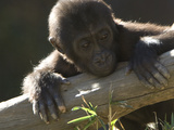 A Baby Gorilla  Gorilla Species  Leaning over a Log