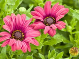 Close-Up of Pink African Daisies  Osteospermum  Asteraceae