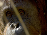 Close Up of an Orangutan Face