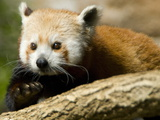Portrait of an Endangered Red Panda  Ailurus Fulgens