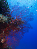 A Red Sea Fan  Swiftia Kofoidi