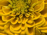 An Extreme Close Up of a Yellow Zinnia Flower