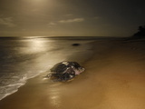 A Female Leatherback Turtle Crawls from the Surf to Nest