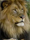 Portrait of a Resting Male African Lion, Panthera Leo Papier Photo par Paul Sutherland