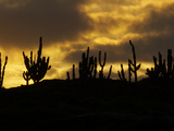 Sihouetted Cacti at Sunset