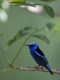 Red-Legged Honeycreeper  Cyanerpes Cyaneus  Perched on a Tree Branch