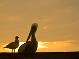 Brown Pelican and a Gull Resting at Twilight