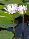 Tropical Water Lilies  Nymphaea Species  Growing in a Thermal Pond