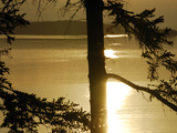 Silhouetted Pine Trees and Dramatic Golden Sunset over Penobscot Bay