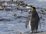 King Penguin  Aptenodytes Patagonicus  Preparing to Enter the Ocean