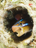 Blue Striped Fangblenny  Plagiotremus Rhinorhynchos in a Burrow