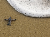A Leatherback Turtle Hatchling Crawls to the Sea