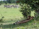A Pair of Cheetahs Resting and Watching a Herd of Burchell&#39;s Zebras