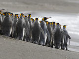 King Penguins  Aptenodytes Patagonicus  Crowded on a Beach