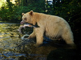 A Five-Year Old Male Kermode Bear with a Pink Salmon in its Jaws