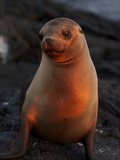 A Portrait of a Galapagos Sea Lion  Zalophus Wollebaeki  at Sunset