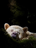 A Kermode Bear Sleeps in a Mossy Bed