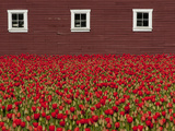 A Field of Red Tulips and a Barn in Spring