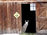 A Llama  Lama Glama  Peers from Barn Door