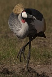 Portrait of a Grey Crowned Crane  Balearica Regulorum