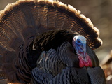 A Male Wild Turkey  Meleagris Gallopavo  Displaying