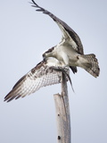 An Osprey on a Dead Tree  Eating a Fish  Near the Occoquan River