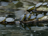 11 Turtles Bask on a Log in the Sun