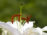 Close Up of the Stamens and Pistil of a Lily