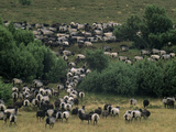 A Herd of Grazing Sheep