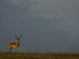 Portrait of an Impala  Aepyceros Melampus  in the Grasslands