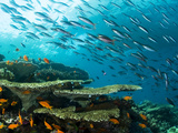 Schooling Fish over a Tropical Coral Reef