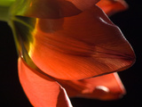 Sunlight on a Red Tulip Petal