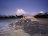A Female Leatherback Turtle Crawls Back to Sea at Dawn after Nesting