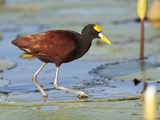 Portrait of a Northern Jacana  Jacana Spinosa