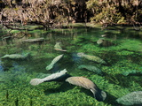 Florida Manatees Swim Beneath Trees Draped with Spanish Moss