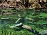 Florida Manatees Swim Beneath Trees Draped with Spanish Moss