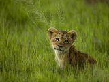 African Lion Cub  Panthera Leo  Portrait in Lush Grass