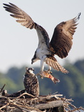 An Osprey  Pandion Haliaetus  with a Fish in Talons Lands in its Nest