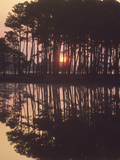 A Sunrise Seen Through Silhouetted Loblolly Pine Trees  Pinus Taeda
