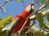 Scarlet Macaw  Ara Macao  in a Tree