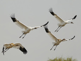 Whooping Crane Adults and Twin Chicks Taking Off in Wintering Grounds