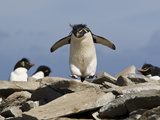 Macaroni Penguin  Eudyptes Chrysolophus  Hopping from Rock to Rock